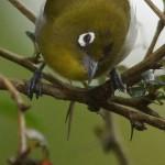 Brillenvögel (White-eyes, Zosteropidae)
