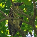 Eigentliche Eulen (True Owls, Strigidae)