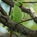 Eigentliche Papageien (Psittacidae)
