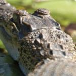 Krokodile (Crocodiles, Crocodylidae)