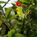 Kuckucke (Cuckoos, Cuculidae)