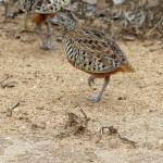 Laufhühnchen (Buttonquails, Turnicidae)