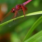 Libellen (Damselflies and Dragonflies, Odonata)