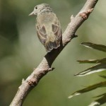 Mistelfresser (Flowerpeckers, Dicaeidae)