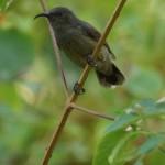Nektarvögel (Sunbirds, Nectariniidae)