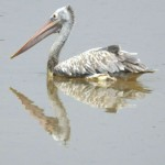 Pelikane (Pelicans, Pelecanidae)