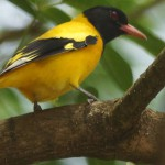 Pirole (Old World Orioles, Oriolidae)