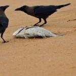 Rabenvögel (Crows, Jays and Magpies, Corvidae)