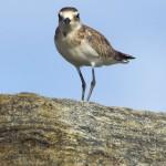 Regenpfeifer (Plovers, Dotterels and Lapwings, Charadriidae)