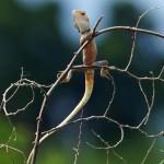 Agamen oder Schönechsen (Agamid Lizards, Agamidae)