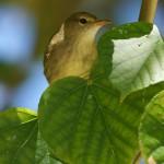 Rohrsängerartige (Warblers, Acrocephalidae)