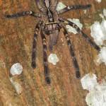 Spinnentiere (Arachnids, Arachnida)
