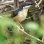 Halmsängerartige (Cisticolidae)