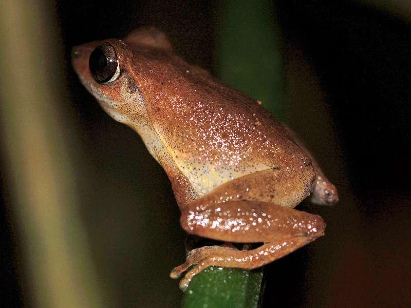 Pseudophilautus popularis (Common Shrub Frog), Männchen, endemische Art; Foto: 10.09.2015, Kitulgala