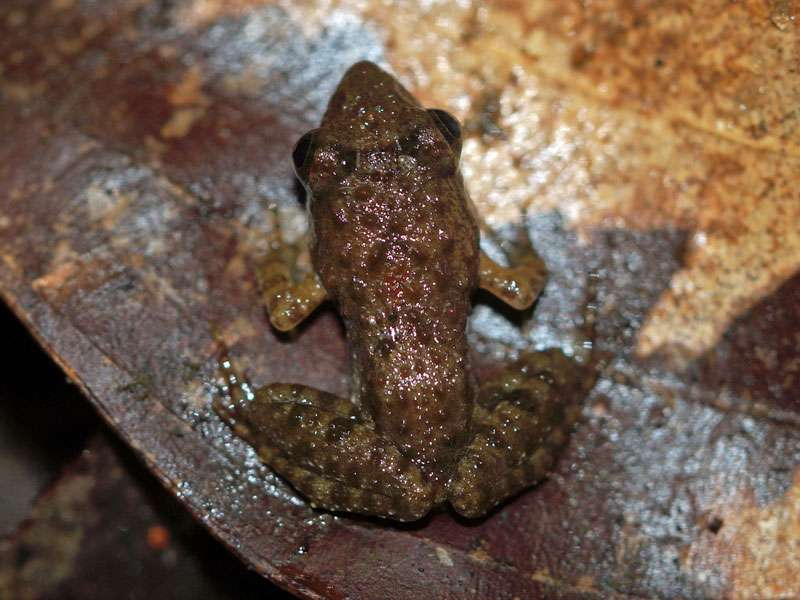 Unbestimmte Amphibienart Nr. 2; Foto: 11.09.2015, Kitulgala
