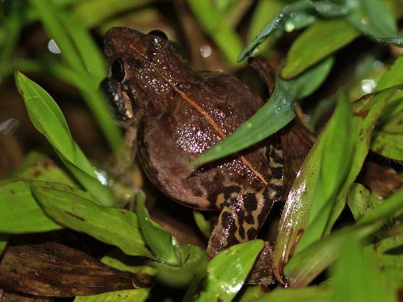 Lankanectes corrugatus (Corrugated Water Frog), Männchen, endemische Art; Foto: 11.09.2015, Kitulgala