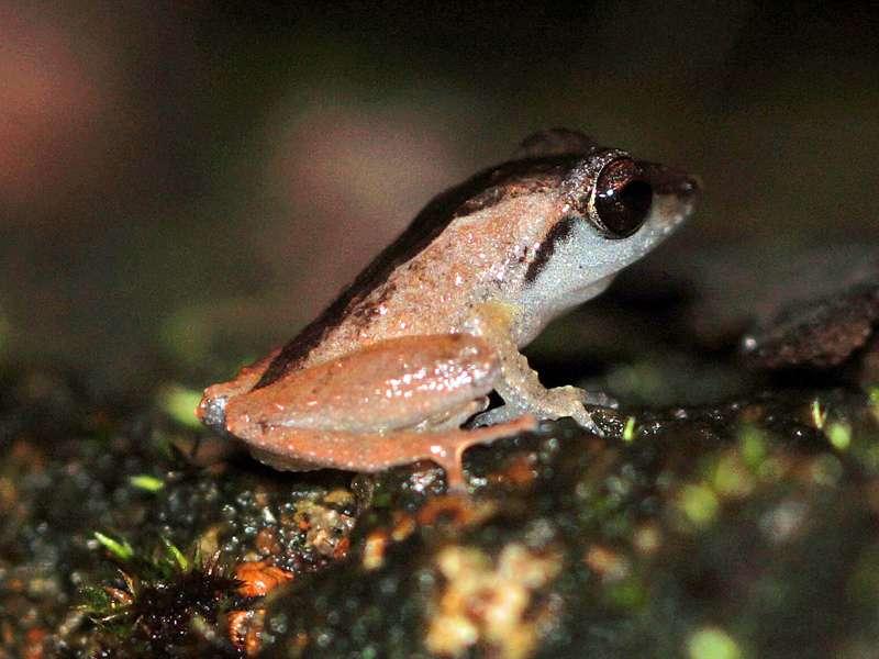 Pseudophilautus cuspis (Sharp-snouted Shrub Frog), Männchen, endemische Art; Foto: 12.09.2015, Martin's Lodge, Sinharaja-Regenwald