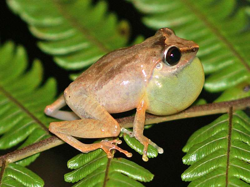 Unbestimmte Amphibienart Nr. 4; Foto: 12.09.2015, Martin's Lodge, Sinharaja-Regenwald