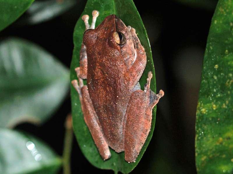 Pseudophilautus reticulatus (Reticulated Thigh Frog), endemische Art; Foto: 13.09.2015, Sinharaja-Regenwald