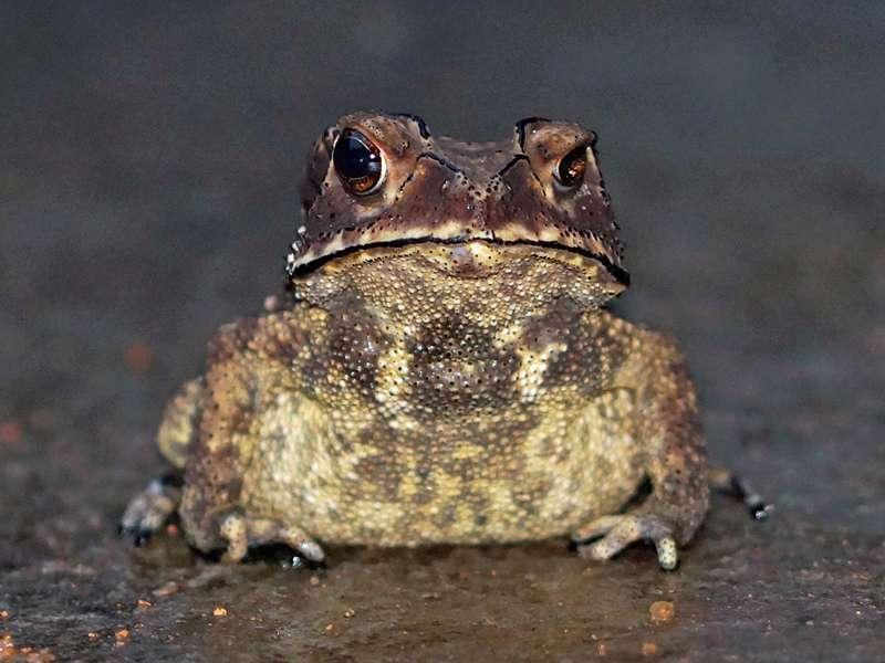 Duttaphrynus noellerti (Noellert's Toad), endemische Art; Foto: 14.09.2015, Martin's Lodge, Sinharaja-Regenwald