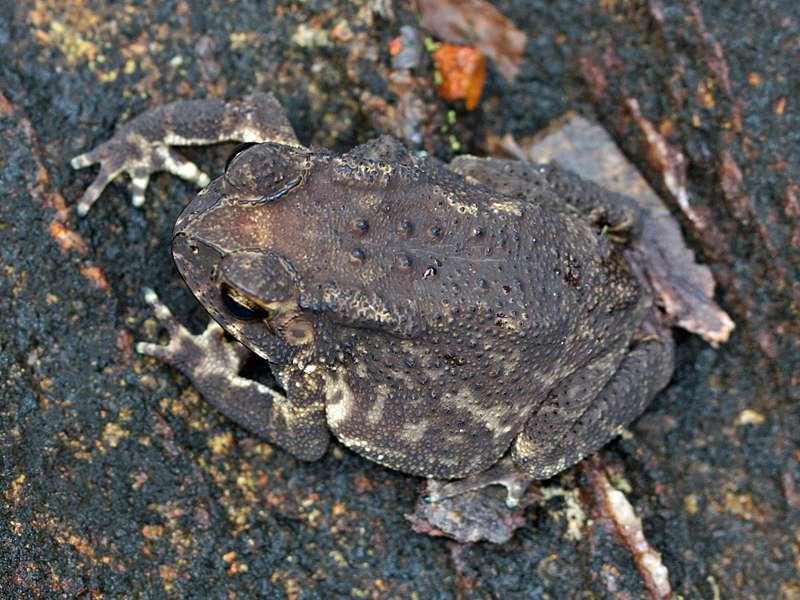 Schwarznarbenkröte (Common Indian Toad, Duttaphrynus melanostictus); Foto: 14.09.2015, Sinharaja-Regenwald
