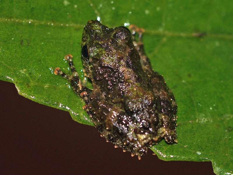 Unbestimmte Amphibienart Nr. 5; Foto: 14.09.2015, Sinharaja-Regenwald