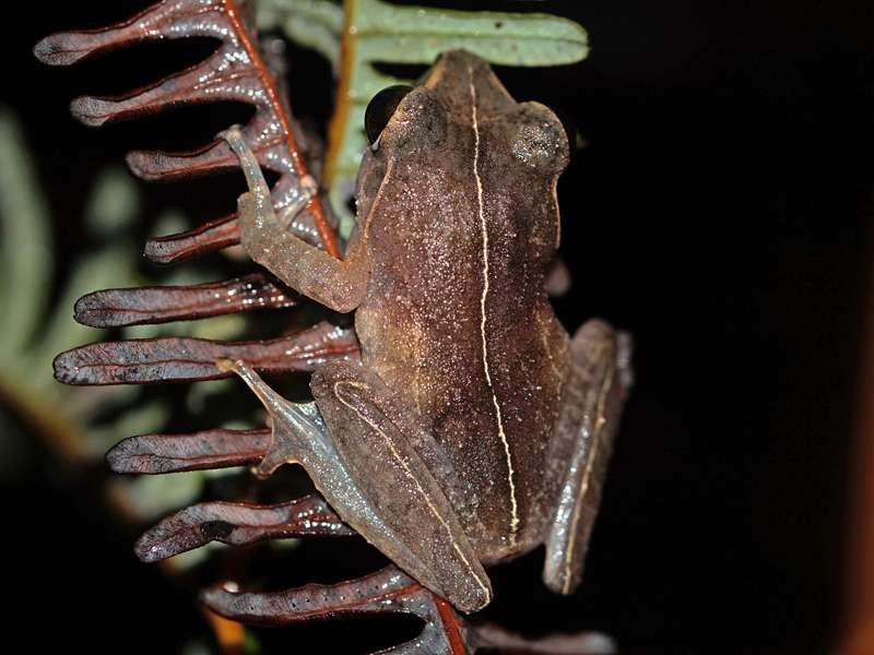 Pseudophilautus stictomerus (Orange-canthal Shrub Frog), endemische Art; Foto: 14.09.2015, Martin's Lodge, Sinharaja-Regenwald