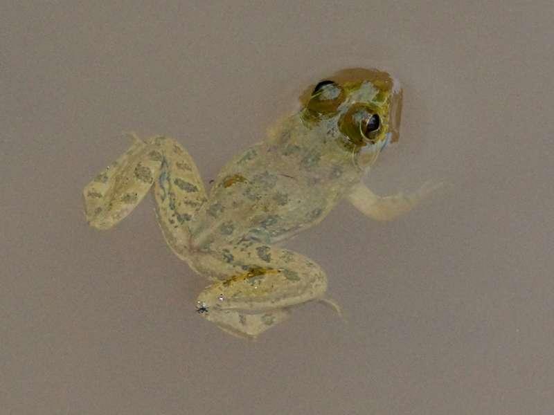Euphlyctis cyanophlyctis (Indian Skipper Frog); Foto: 15.09.2015, Sinharaja-Regenwald