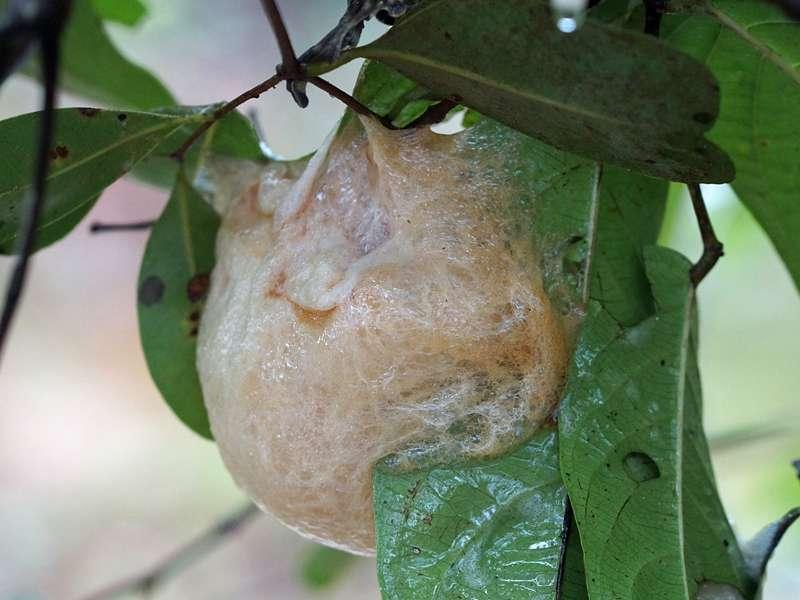 Schaumnest von Polypedates cruciger (Common Hour-glass Tree Frog), endemische Art; Foto: 15.09.2015, Sinharaja-Regenwald