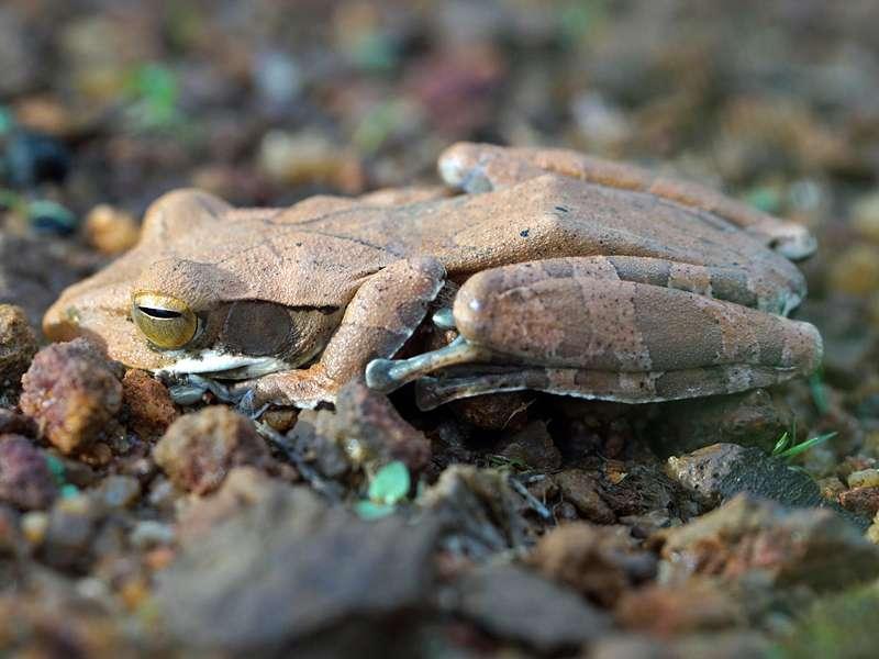 Polypedates cruciger (Common Hour-glass Tree Frog), endemische Art; Foto: 15.09.2015, Sinharaja-Regenwald