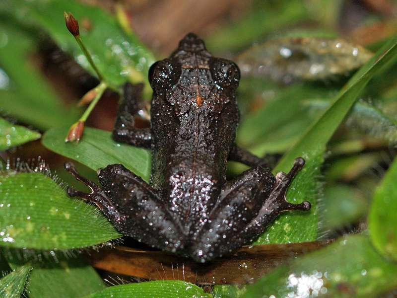 Pseudophilautus alto (Horton Plains Scrub Frog), endemische Art; Foto: 17.09.2015, Horton Plains-Nationalpark