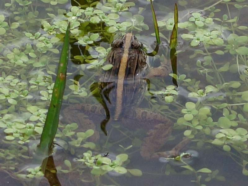 Zakerana greenii (Montane Frog), endemische Art; Foto: 18.09.2015, Nuwara Eliya