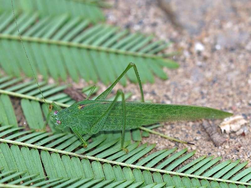 Unbestimmtes Insekt Nr. 33, Foto: 19.09.2015, Nähe Kandy
