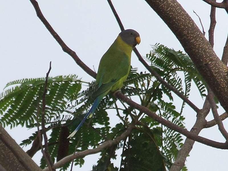 Weiblicher Pflaumenkopfsittich (Psittacula cyanocephala), diese Papageienart ist in Sri Lanka endemisch; Foto: 19.09.2015, Hantane Tea Estate, Nähe Kandy