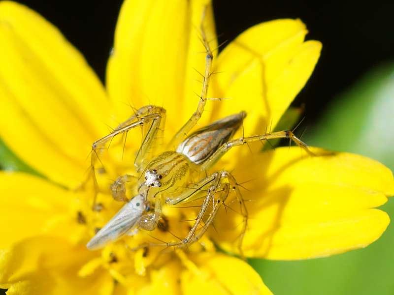 Oxyopes sp. mit erbeuteter kleiner Zikade; Foto: 20.09.2015, Nähe Kandy