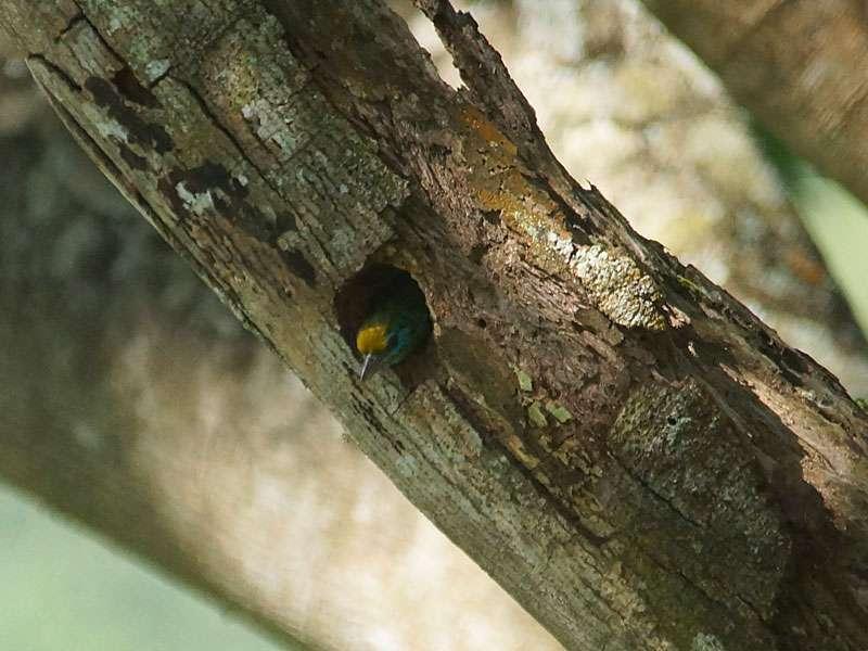 Goldstirn-Bartvogel (Megalaima flavifrons) schaut aus seiner Nisthöhle in einem Ast von Falcataria moluccana; Foto: 20.09.2015, Nähe Kandy