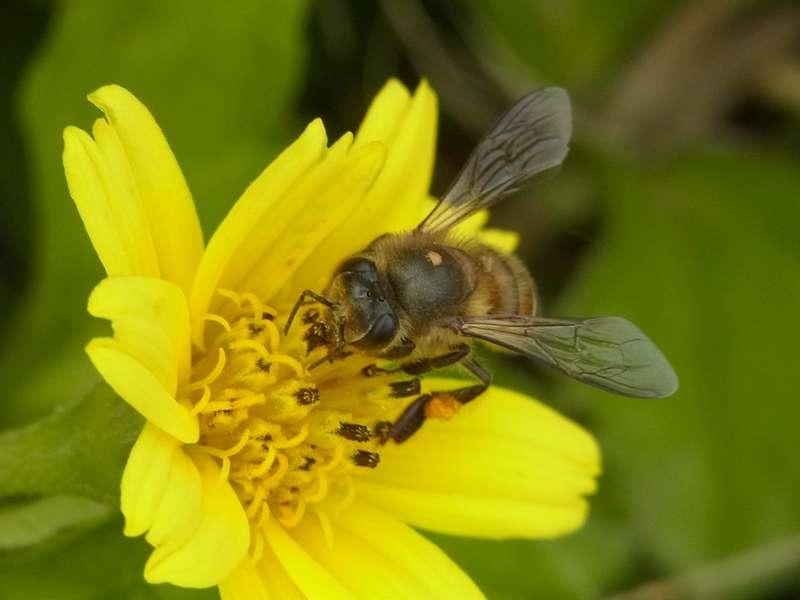Östliche Honigbiene (Apis cerana indica); Foto: 20.09.2015, Nähe Kandy