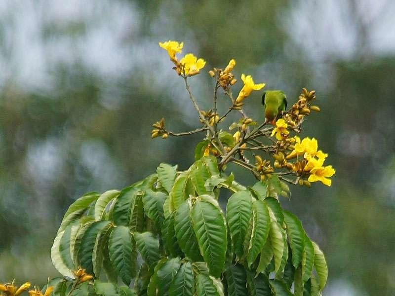Ceylon-Papageichen (Loriculus beryllinus); Foto: 20.09.2015, Nähe Kandy
