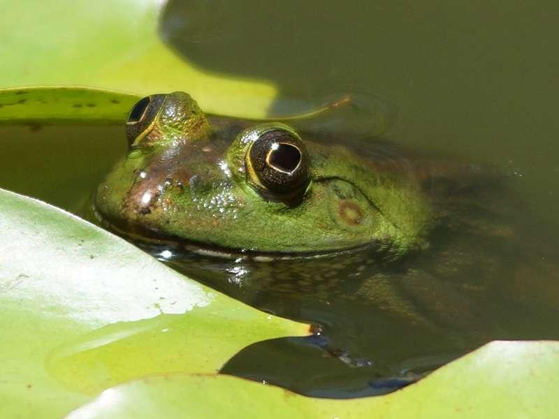 Sechszehenfrosch (Green Pond Frog, Euphlyctis hexadactylus); Foto: 21.09.2015, Waikkal