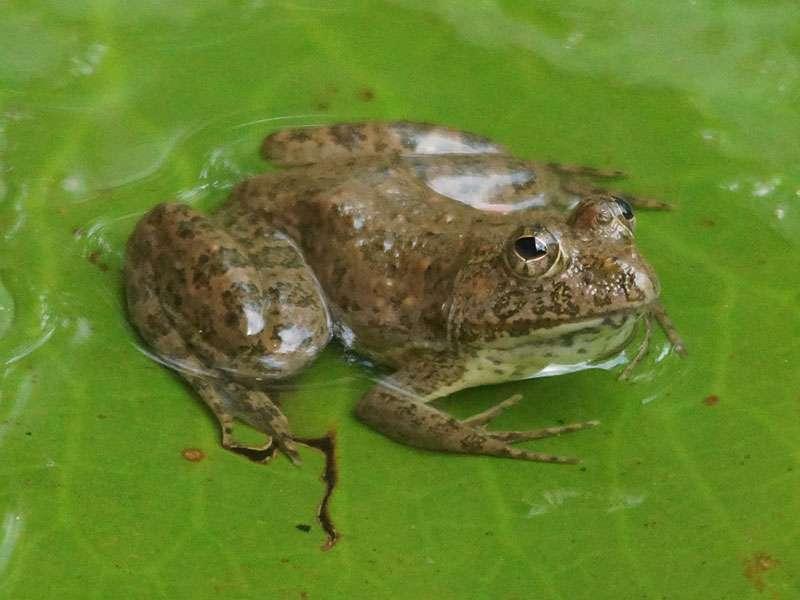 Unbestimmte Amphibienart Nr. 7; Foto: 27.09.2015, Wilpattu-Nationalpark