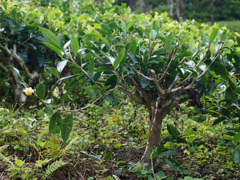 Viele Teesträucher (Camellia sinensis) sind schon sehr alt und wirken wegen des häufigen Stutzens wie Miniaturbäume mit zu groß geratenen Blättern; Foto: 19.09.2015, Galaha