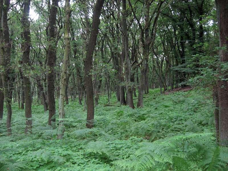 Wald und Farn im Naturschutzgebiet Lüsekamp; Foto: 20.06.2009, Elmpt, Niederkrüchten