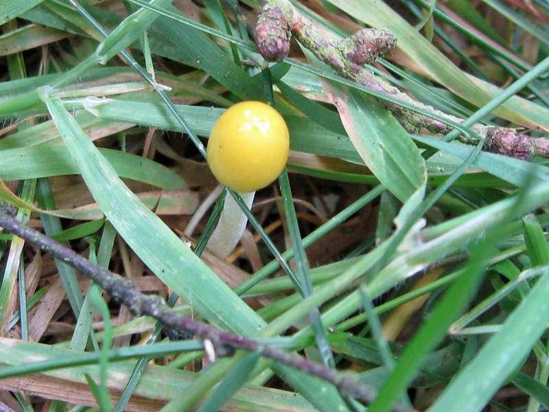Goldmistpilz (Egg-yolk Fieldcap, Bolbitius vitellinus) im Naturschutzgebiet Lüsekamp; Foto: 20.06.2009, Elmpt, Niederkrüchten