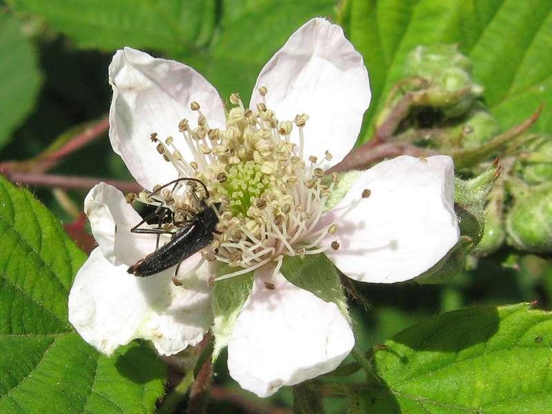 Brombeer-Blüte mit Schwarzem Schmalbock (Stenurella nigra) im Naturschutzgebiet Lüsekamp; Foto: 20.06.2009, Elmpt, Niederkrüchten