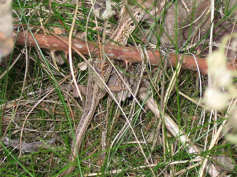 Zauneidechse (Lacerta agilis) im Naturschutzgebiet Lüsekamp; Foto: 20.06.2009, Elmpt, Niederkrüchten