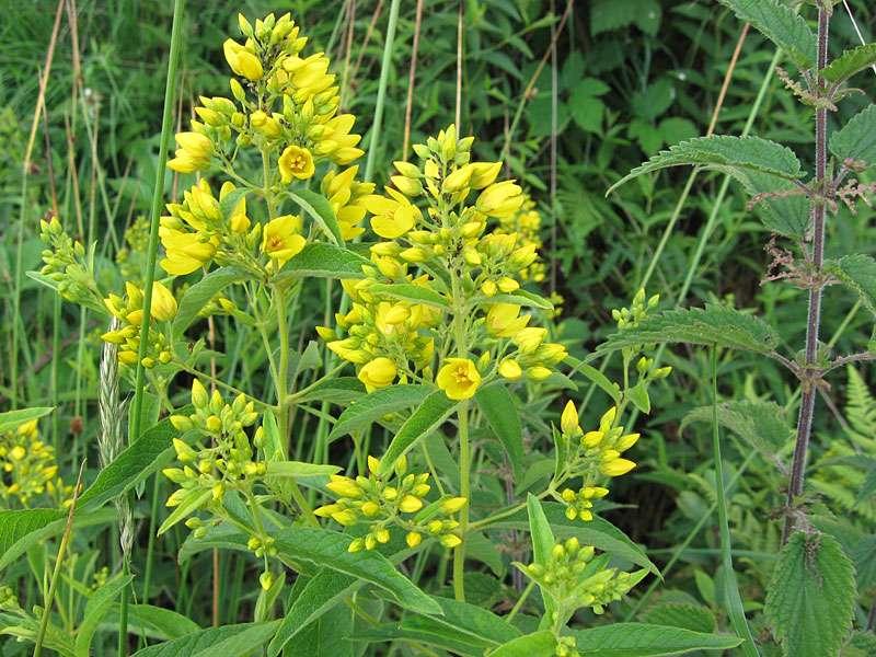 Gewöhnlicher Gilbweiderich (Lysimachia vulgaris) im Naturschutzgebiet Lüsekamp; Foto: 20.06.2009, Elmpt, Niederkrüchten