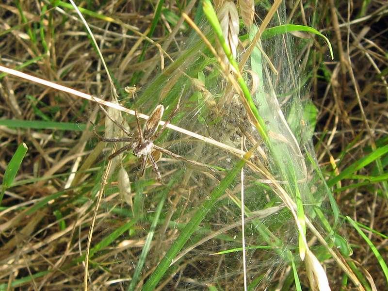 Weibliche Listspinne (Pisaura mirabilis) mit ihrem Nachwuchs im Naturschutzgebiet Lüsekamp; Foto: 20.06.2009, Elmpt, Niederkrüchten