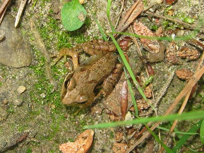 Junger Frosch (Rana sp.) im Naturschutzgebiet Lüsekamp; Foto: 20.06.2009, Elmpt, Niederkrüchten
