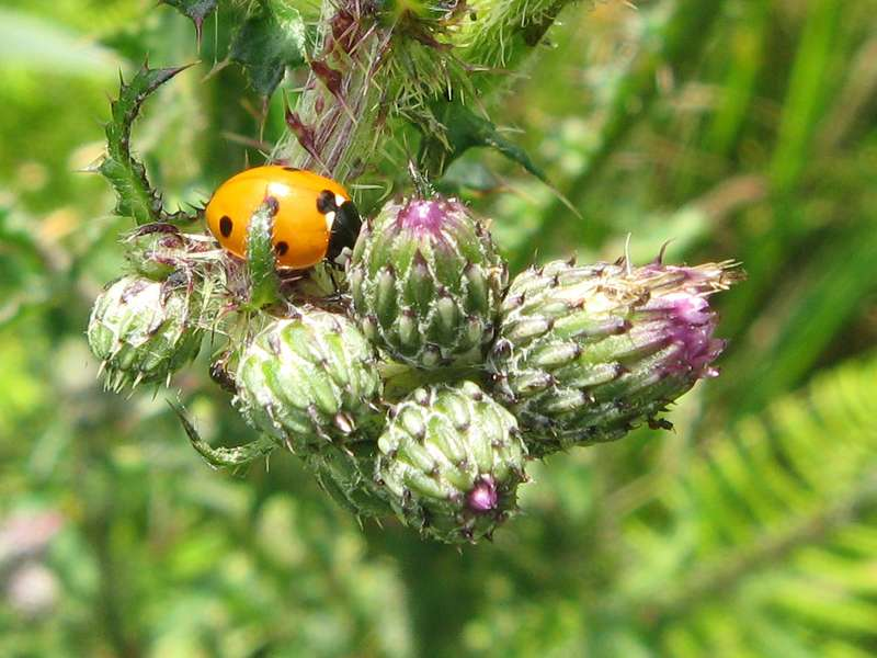 Siebenpunkt-Marienkäfer (Coccinella septempunctata) im Naturschutzgebiet Lüsekamp; Foto: 20.06.2009, Elmpt, Niederkrüchten