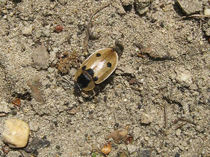 Vierpunkt-Aaskäfer (Xylodrepa quadripunctata) im Naturschutzgebiet Lüsekamp; Foto: 23.05.2010, Elmpt, Niederkrüchten